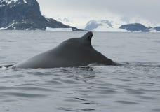 Een gebocheldewalvis in Zuidelijke oceaan-2. Stock Afbeelding