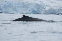 Een gebocheldewalvis in Zuidelijke oceaan-3. Royalty-vrije Stock Afbeeldingen