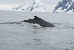 Een gebocheldewalvis in Zuidelijke oceaan-4. Stock Foto's