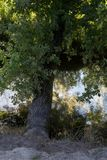Een gebogen boom op de kust van een kanaal Stock Foto's