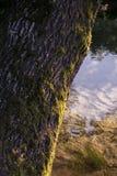Een gebogen boom op de kust van een kanaal Stock Afbeeldingen