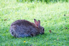 Een gebogen en konijn die weiden royalty-vrije stock fotografie