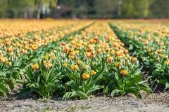 Een gecultiveerd tulpengebied royalty-vrije stock foto