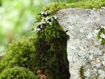 Een gedetailleerd beeld van mos het groeien stock afbeeldingen