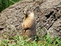 Een geel-doen zwellen marmot in Sequoia Nationaal Park stock afbeelding