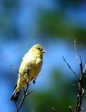 Een geel-doen zwellen Vogel die op een boomtak rust royalty-vrije stock afbeelding