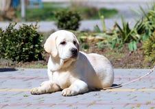 Een geel puppy van Labrador in het park Stock Foto's