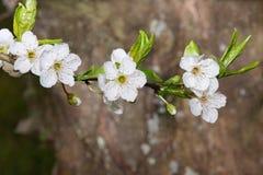 Een gehele tak van appelboom in bloei Royalty-vrije Stock Afbeeldingen
