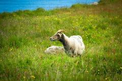 Een Gehoornde Ram & een x28; Volwassen Mannelijke Sheep& x29; in de Weide royalty-vrije stock foto's