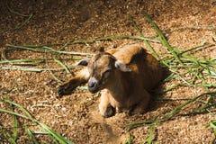 Een geit royalty-vrije stock afbeeldingen
