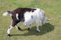 Een geit Stock Afbeeldingen