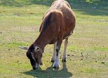 Een geit Stock Afbeelding