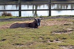 Een geit Royalty-vrije Stock Foto's