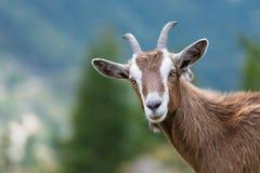 Een geit bekijkt ons Stock Afbeeldingen