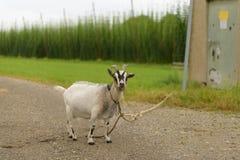 Een geit dichtbij een boerderij aan een kabel wordt gebonden die royalty-vrije stock foto
