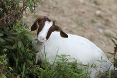 Een geit die op de helling weiden Stock Foto