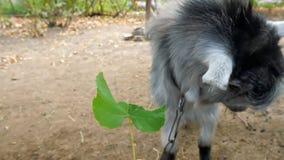 Een geit eet een druivenblad van de handen van een mens stock video