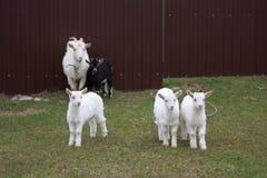 Een geit met geiten zal naar de werf gaan royalty-vrije stock foto