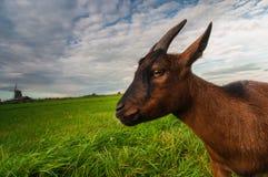 Een geit op groene weide en een windmolen Stock Afbeelding