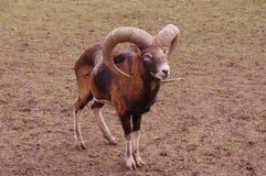 Een geit op weide Royalty-vrije Stock Fotografie
