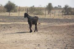 Een Geit in Rajasthan Stock Afbeelding