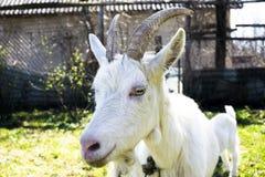 Een geitportret Stock Fotografie