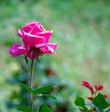 Een gekleurde Close-up van roze nam toe Royalty-vrije Stock Afbeeldingen
