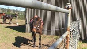Een gekweekt bruin paard stock videobeelden