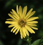 Een Gele Aster royalty-vrije stock afbeeldingen
