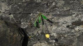 Een gele bloem groeit van een rots Royalty-vrije Stock Afbeeldingen