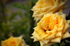 Een gele bloem met dauw en andere bloemen op de achtergrond Stock Afbeeldingen