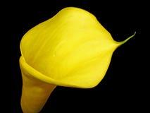 Een gele Calla Lelie stock afbeeldingen
