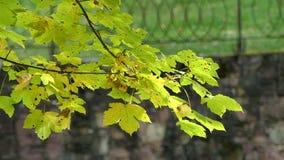 Een gele en groene tak van een esdoorn slingert in een park in de herfst in slo-mo stock video