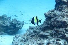 Een gele en zwarte streep wrasse Stock Foto's