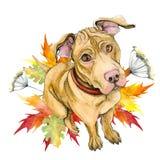Een gele hond van de kuilstier zit Leuk Puppy de herfst, bladeren, esdoorn royalty-vrije illustratie