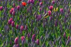 Een gele kwikstaart rust op een tulpengebied stock fotografie