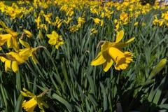 Een Gele narcis of Narcissen typische Gele narcis van bolflowersis royalty-vrije stock afbeeldingen