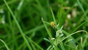 Een gele vigintiduopunctata die van onzelieveheersbeestjepsyllobora van gras opstijgen stock videobeelden