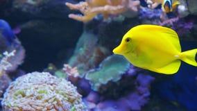 Een gele zweempjevis zwemt langs een koraalrif in zeewater of een aquarium stock video