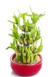 Een gelukkige bamboeinstallatie Stock Afbeelding