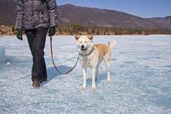 Een gelukkige Japanse Akita Inu-hond met gesloten ogen op een leiband met haar eigenaar loopt langs het ijs van Meer Baikal op ee stock foto's