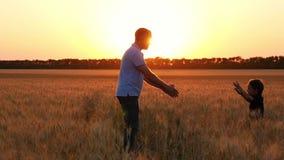 Een gelukkige kindlooppas aan zijn vader door een tarwegebied bij zonsondergang De vader neemt zijn zoon in zijn wapens en omhels stock footage