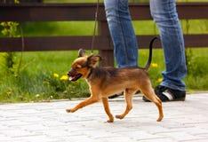 Een gelukkige roodharige puppylooppas naast de eigenaar voor een gang Een mens loopt onderaan de straat met zijn kleine hond Stock Foto