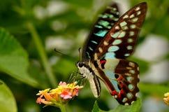 Een gemeenschappelijke bromvliegvlinder Royalty-vrije Stock Foto