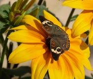 Een gemeenschappelijke buckeyevlinder op een zonnebloem Stock Afbeeldingen