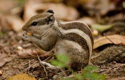 Een gemeenschappelijke eekhoorn Royalty-vrije Stock Foto's