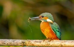 Een Gemeenschappelijke Ijsvogel die het zoeken de maaltijd van ` s eerste Stock Fotografie