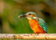 Een Gemeenschappelijke Ijsvogel die het zoeken de maaltijd van ` s eerste Royalty-vrije Stock Fotografie