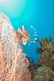 Een gemeenschappelijke lionfish (mijlen Pterois) Royalty-vrije Stock Afbeeldingen