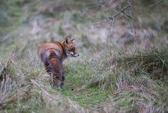 Een gemeenschappelijke rode vos Stock Afbeelding